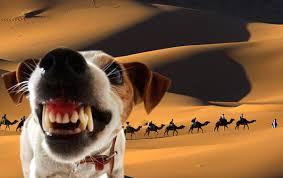 Собаки лают,караван идет (ВИДЕО)