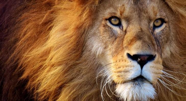 История о том, как лев разорвал свиней возле Днепра, оказалась фейком!